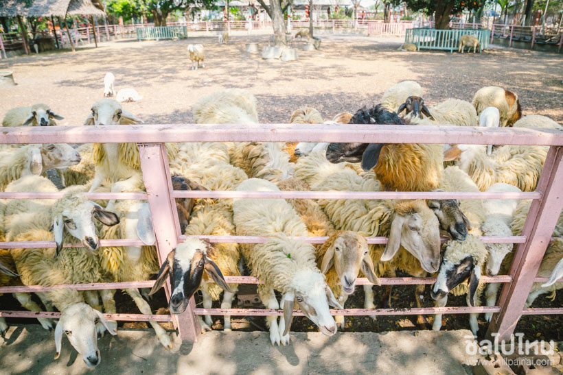 9. Peacock Raindia and Sheep Farm Nakhon Phrathom 4